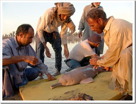 freshwater-dolphins-threatened-indus-river