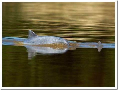 freshwater-dolphins-threatened-tucuxi