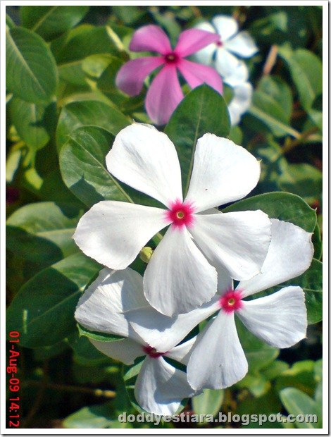 rose periwinkle 11