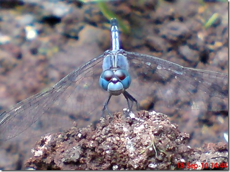 small blue dragonfly 4