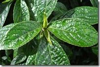 Kejibeling (Strobilanthes crispus Bl)