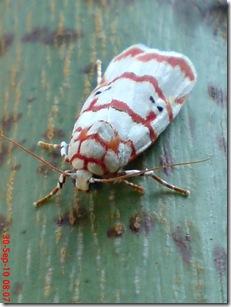 ngengat putih bergaris merah 05