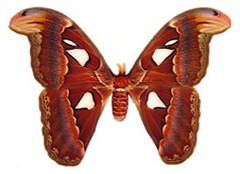 ngengat Atlas_moth_female