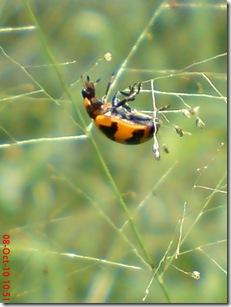 kumbang kepik 21