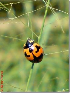 kumbang kepik 2