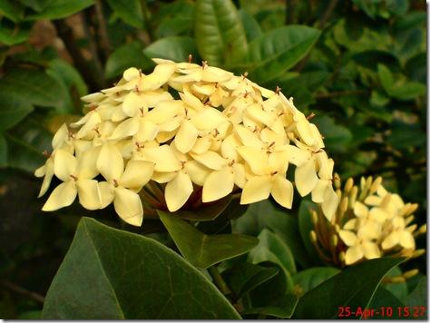 bunga siantan kuning 06