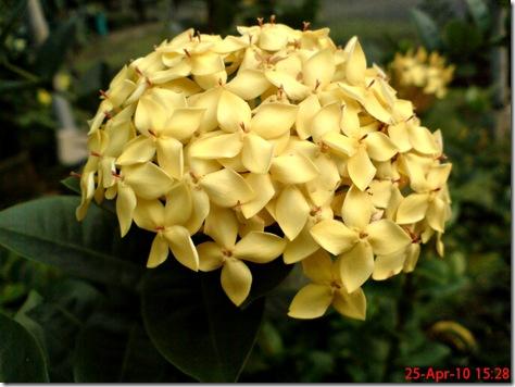 bunga siantan kuning 07