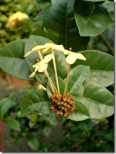 bunga siantan kuning 13
