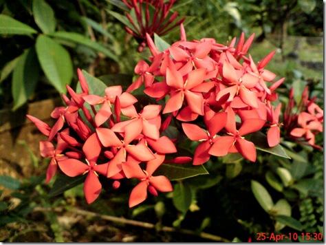 bunga siantan merah 0