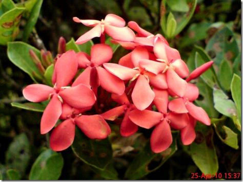 bunga siantan merah 07