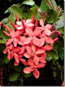 bunga siantan merah 09