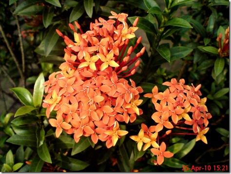 bunga siantan oranye 05