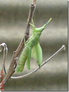 belalang ganti kulit 10