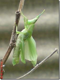 belalang ganti kulit 17