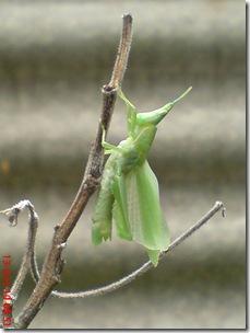 belalang ganti kulit 19