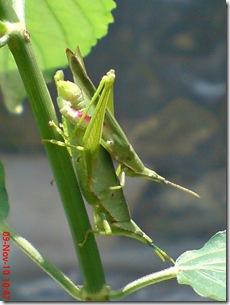 belalang hijau kawin tampak belakang 02