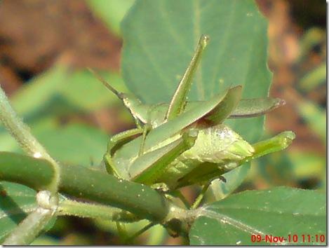 belalang hijau kawin tampak belakang 32