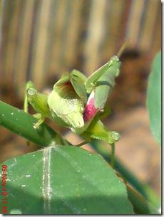 belalang hijau kawin tampak belakang 18
