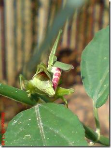 belalang hijau kawin tampak belakang 24