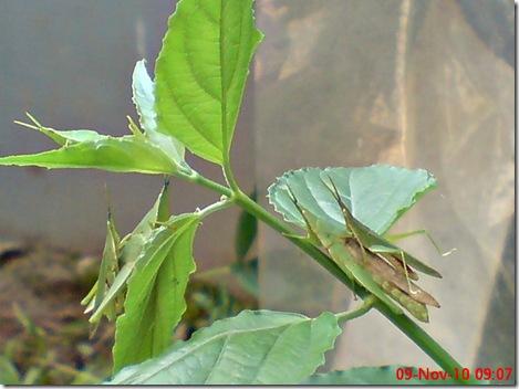 2 pasang belalang hijau kawin 29