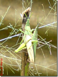 green grasshopper mating front view 22
