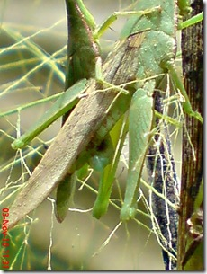 green grasshopper mating front view 17