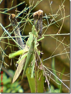 green grasshopper mating front view 23