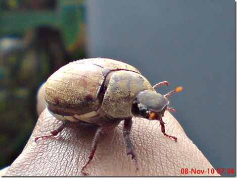 kumbang lege 11
