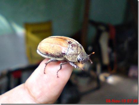 kumbang lege 04