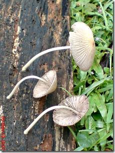 jamur seperti payung layu 09