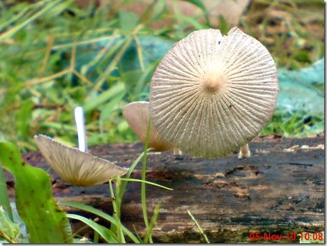 jamur seperti payung layu 12