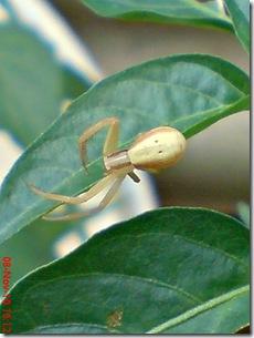 laba-laba angkat tangan 17