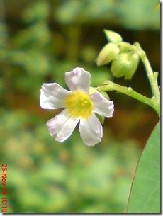 Oxalis barrelieri-Belimbing Tanah-Lavender sorrel  26