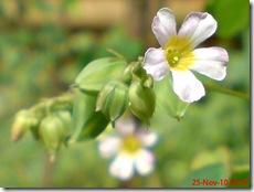 Oxalis barrelieri-Belimbing Tanah-Lavender sorrel 13
