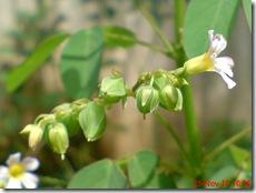 Oxalis barrelieri-Belimbing Tanah-Lavender sorrel 19