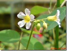 Oxalis barrelieri-Belimbing Tanah-Lavender sorrel 22