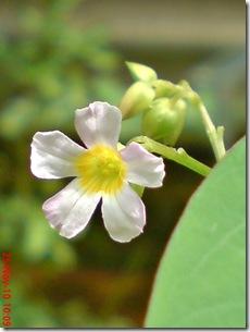 Oxalis barrelieri-Belimbing Tanah-Lavender sorrel 23