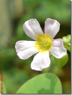 Oxalis barrelieri-Belimbing Tanah-Lavender sorrel 29