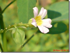 Oxalis barrelieri--Lavender sorrel-Belimbing Tanah 04