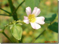 Oxalis barrelieri--Lavender sorrel-Belimbing Tanah 08