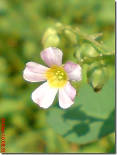 Oxalis barrelieri--Lavender sorrel-Belimbing Tanah 11