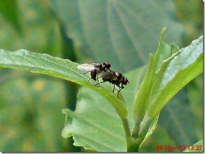 lalat kecil kawin 01