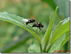 lalat kecil kawin 05
