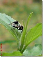 lalat kecil kawin 08