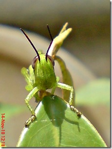 wajah belalang warna hijau 06