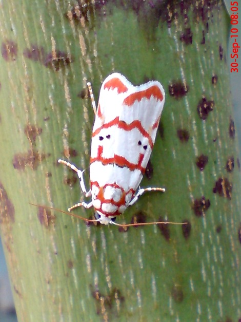 DSC04959 Cyana conclusa ngengat putih bergaris merah