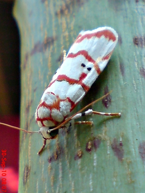 DSC04966 Cyana conclusa ngengat putih bergaris merah