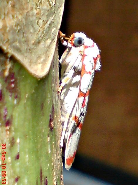 DSC04997 Cyana conclusa ngengat putih bergaris merah