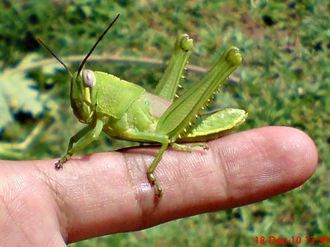 anak belalang Locusta migratoria