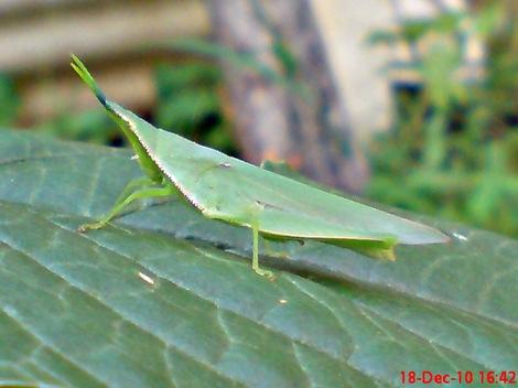 belalang hijau Atractomorpha crenulata vegetable grasshopper DSC03986